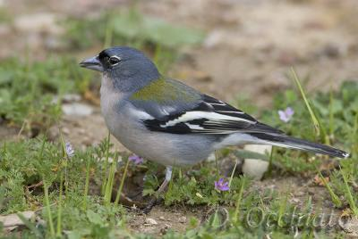 African Chaffinch (Fringilla coelebs ssp spodiogenys)