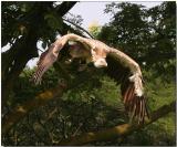 Griffon Vulture - Taking flight