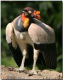 King Vulture