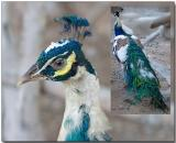 Blue Pied Peafowl - male