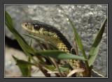 snakehead 5.jpg