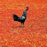 Rooster on drying chilli - Lombok, Indonesia