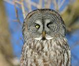 Great Gray Owl --- Wink.