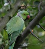 Parrots, Parakeets