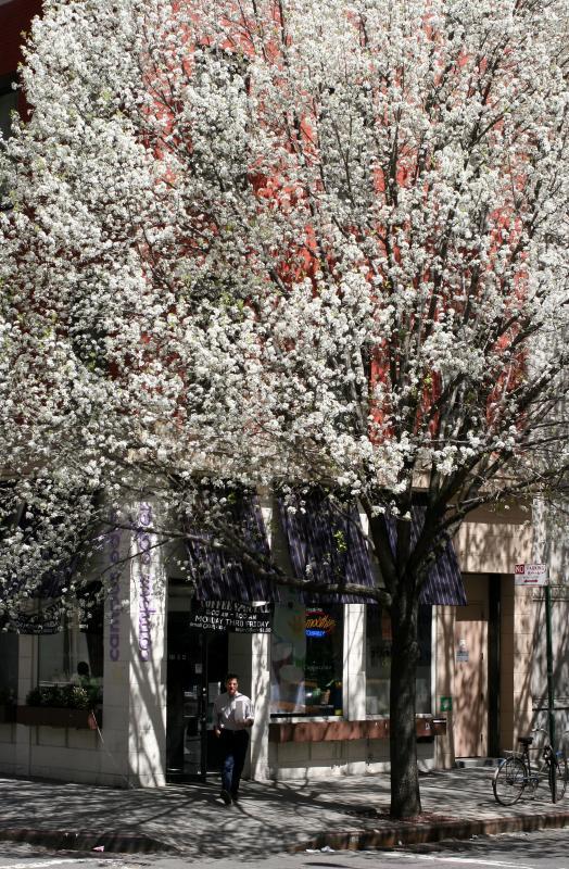 Bradford Pear Tree at Greene Street