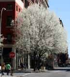 Bradford Pear Tree at Greene Street