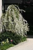Prunus Tree at 11 Fifth Avenue