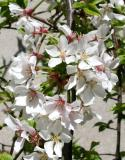 Prunus Tree Blossoms at 11 Fifth Avenue