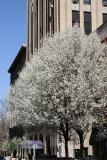 Pear Tree & NYU Buildings