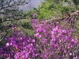 Wild Azalee in mountain