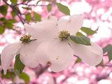 Dogwood in Bloom in Kentucky