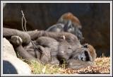Gorilla laying - IMG_0996.jpg