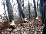 Le travail des castors près de la St-François
