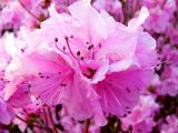 Azalea Blossoms ~ April 19th