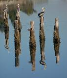 Pelicans and Post Piles
