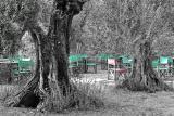 Olive Trees at Castiglione del Lago