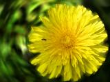 Taraxacum yellow radiation