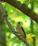 Tufted Titmouse, Monticello Park