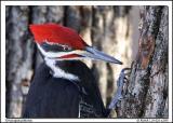 Pics / Woodpeckers