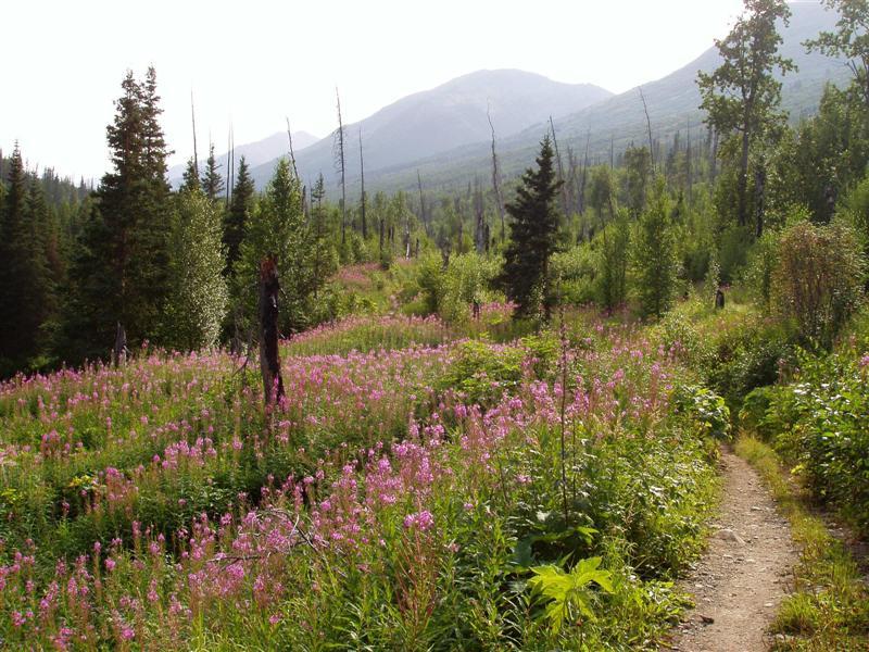 Mile 7_Caribou Burn Fireweed