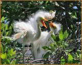 Great White Egret Chicks