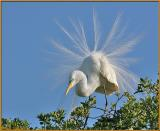 Egret in Plume