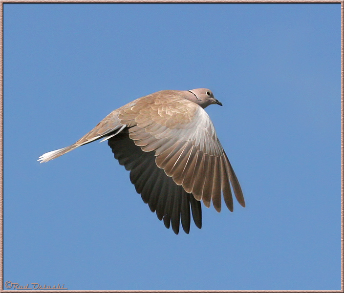 Dove In-Flight