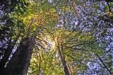 treetop glow