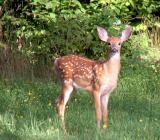 Fawn checking me out
