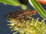 Scathophaga furcata
