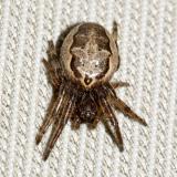 Foliate spider - Larinioides cornutus