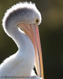Pelikan in Perth Australia