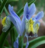 Ken and Joann Trimmer's Irises smallfile DSCF0002.JPG