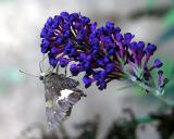 Butterfly Bush  & Skipper II