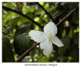 Late Philadelphius blossom