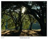 Setting Sun thru the California Oaks