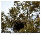 Blue Heron Nest at Vasona Park