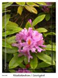 Rhododendron from the yard