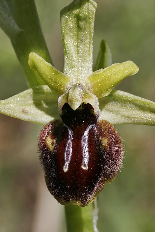 Spinnenragwurz <I>(Ophrys sphegodes)</I>
