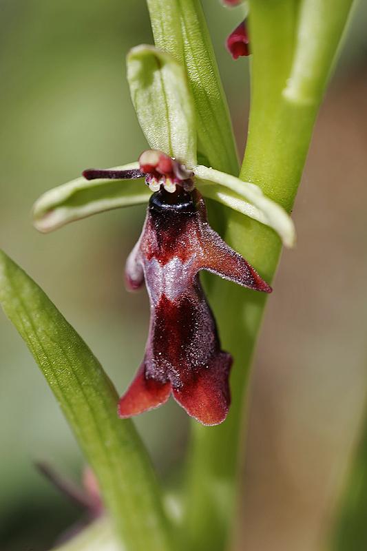 Fliegen-Ragwurz <I>(Ophrys insectifera)</I>