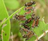 Milkweed tussock caterpillars -- early instars