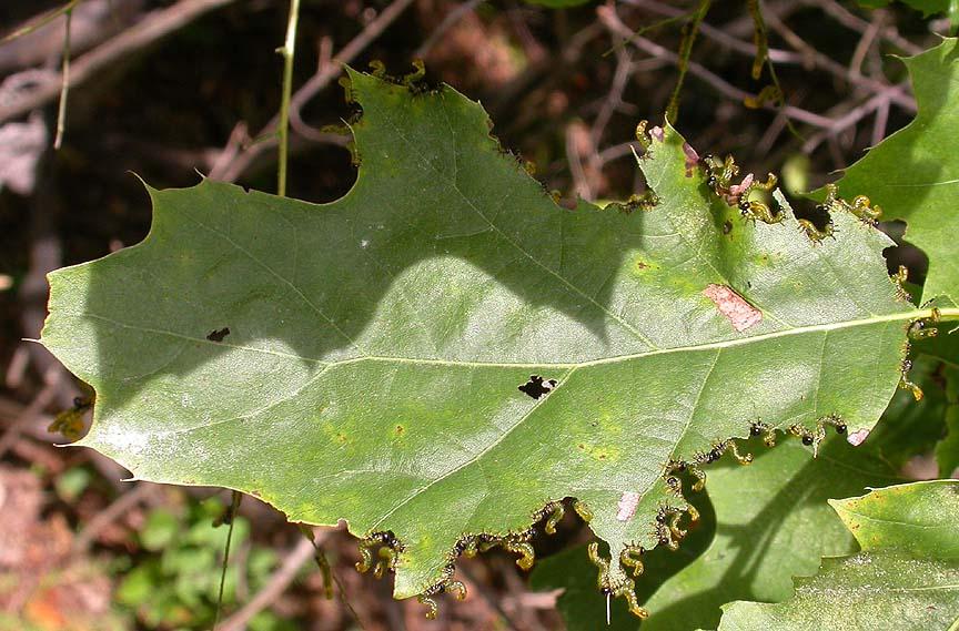 Sawfly larvae on Red oak leaf - 1