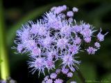Blue Mistflower; Algeratum