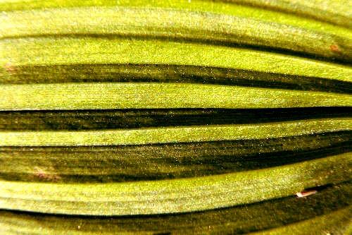 False hellebore leaf