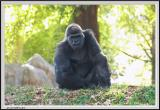 Gorilla - CRW_0539 copy.jpg