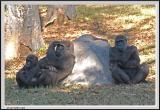 Gorilla - CRW_0553 copy.jpg