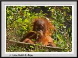 Orangatang Baby - CRW_0560 copy.jpg