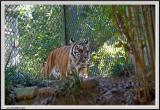 Tiger - CRW_0578 copy.jpg