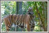 Tiger - CRW_0579 copy.jpg