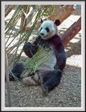 Panda Eating - DSCF0101 copy.jpg